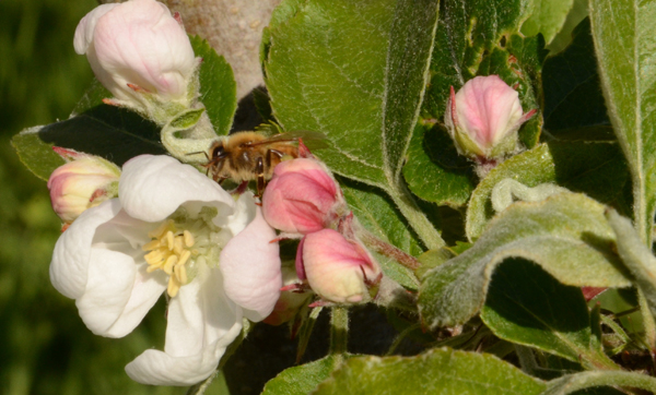 Laughing Apple Farm bee polenating an apple tree